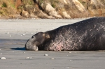 A Northern Elephant seal sunbathes solo on a beach.