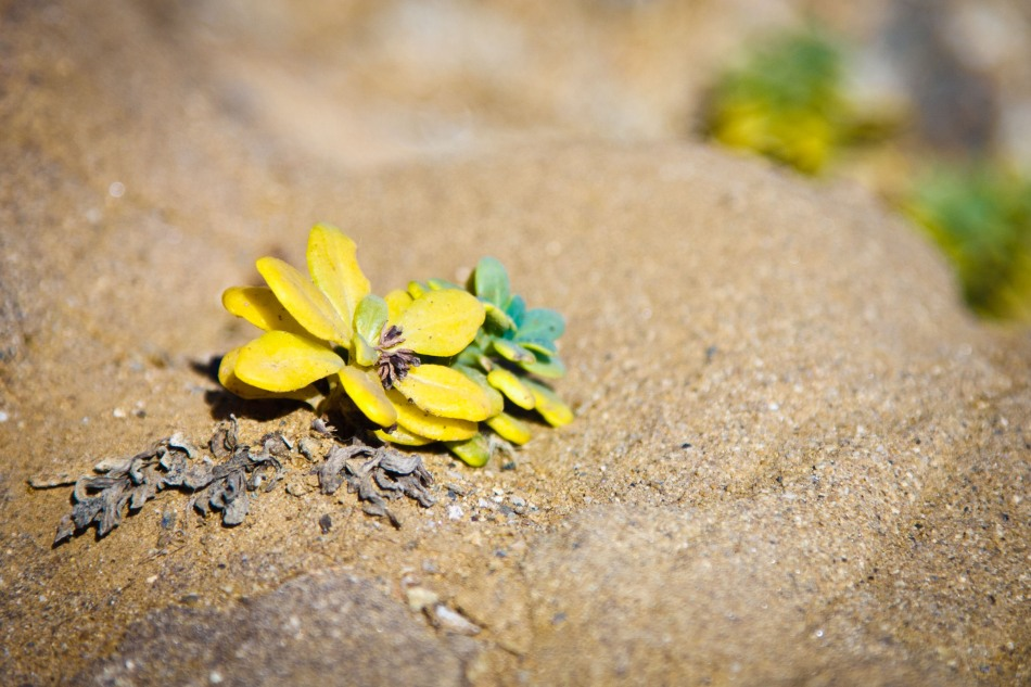 A bright yellow succulent in its natural habitat -- the dunes at Bean Hollow State Beach.