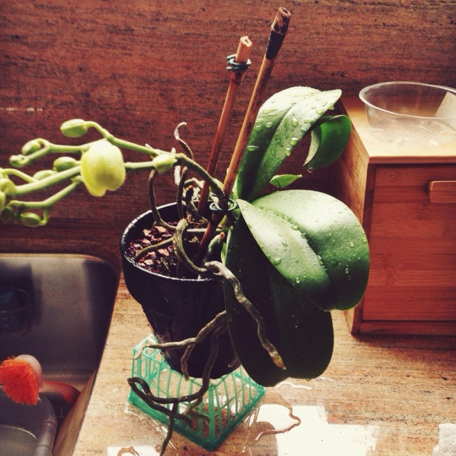 draining orchid